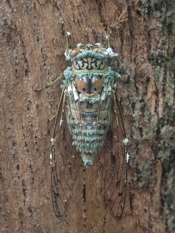 Cicada infected with fungus