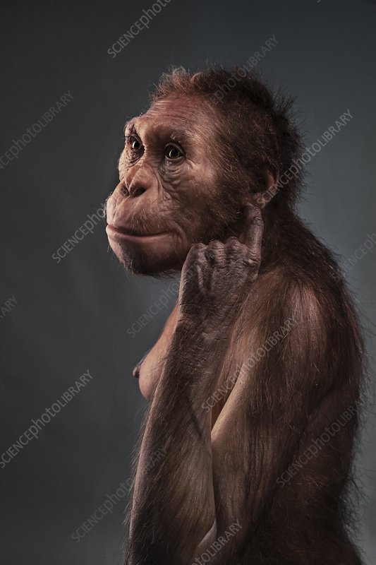 Australopithecus sediba female model