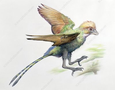 Changchengornis prehistoric bird, illustration