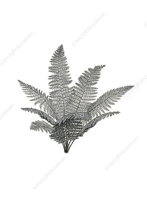 Renaultia prehistoric fern, illustration