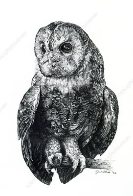 Tawny owl, illustration
