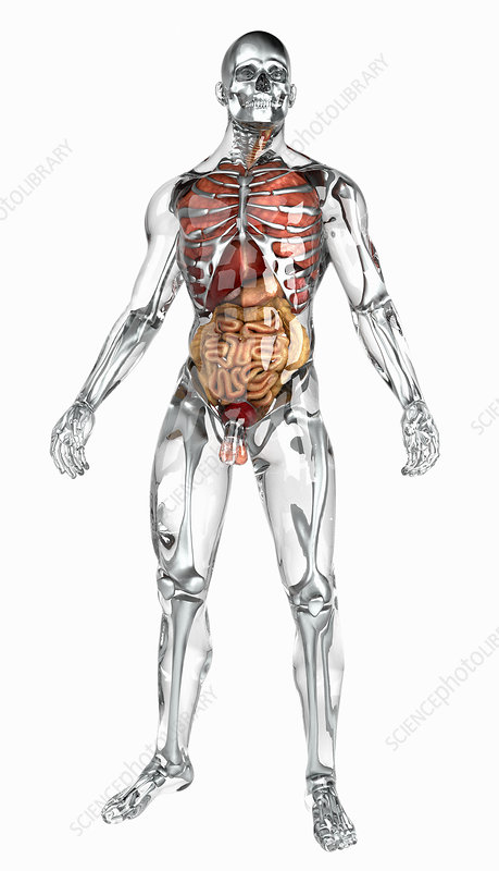 Human organs in transparent anatomical model, illustration