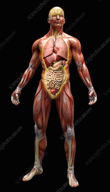 Human muscles, tendons and organs, illustration