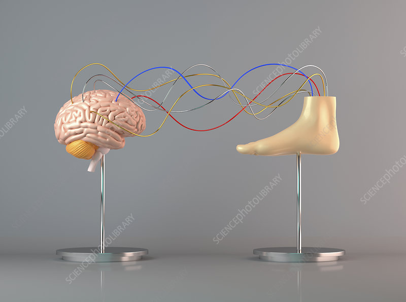Cables connecting human brain to foot, illustration