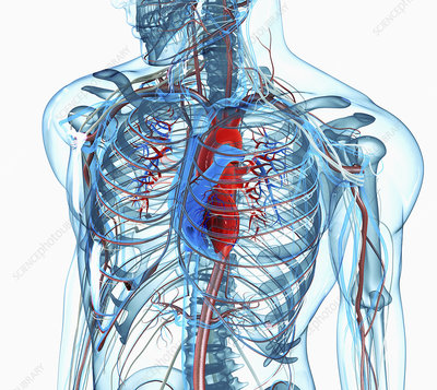 Chest, heart and arteries, illustration