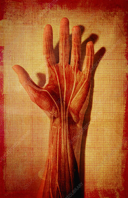 Muscles and tendons of hand, illustration