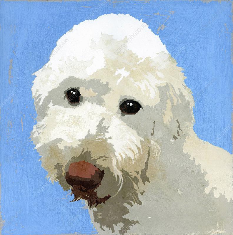 Labradoodle dog, illustration