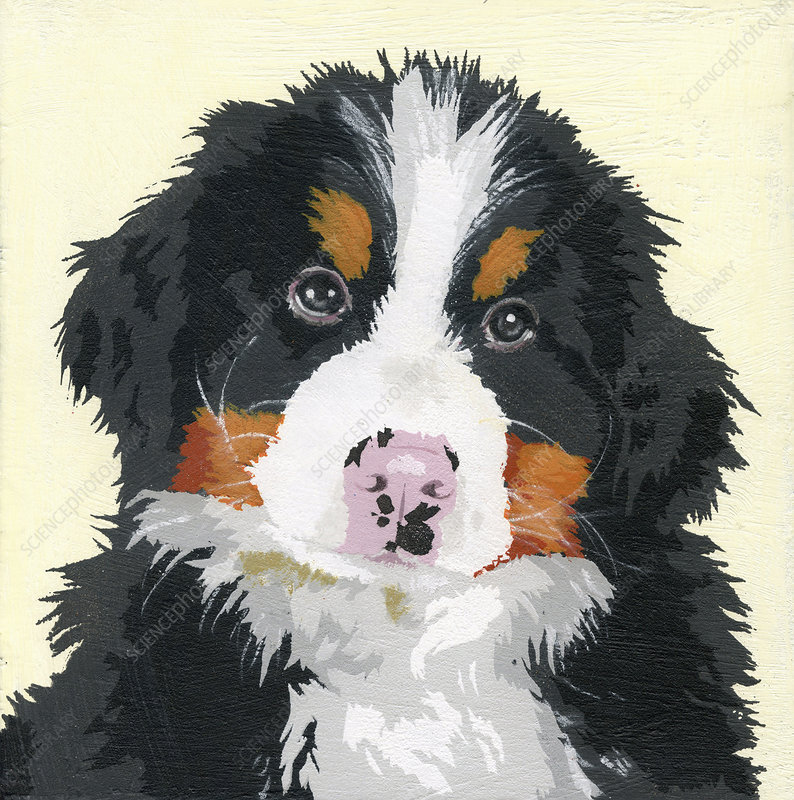 Bernese Mountain Dog puppy, illustration
