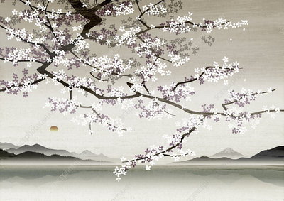 Cherry blossom, illustration