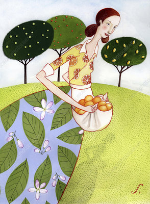 Woman carrying harvested oranges in apron, illustration