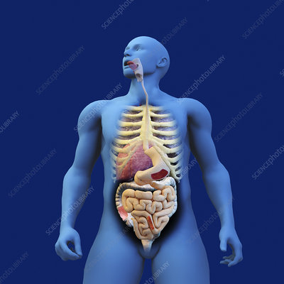 Digestive system of anatomical model, illustration