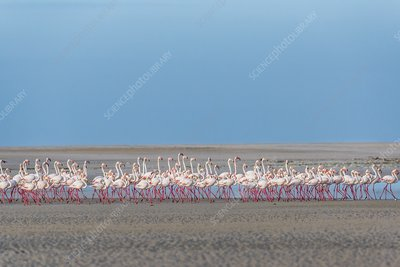 Greater flamingo flock