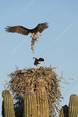 Ospreys nesting on a cactus