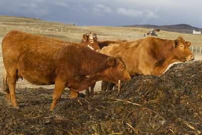 Cattle feeding on seaweed