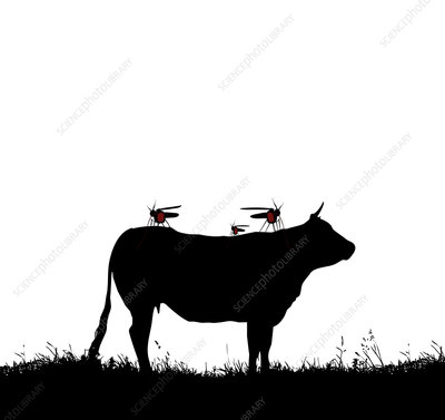 Mosquitoes feeding on cow blood, conceptual image