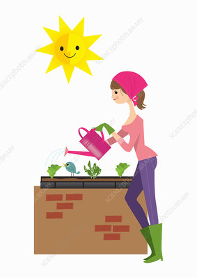 Woman planting lettuce in raised bed, illustration