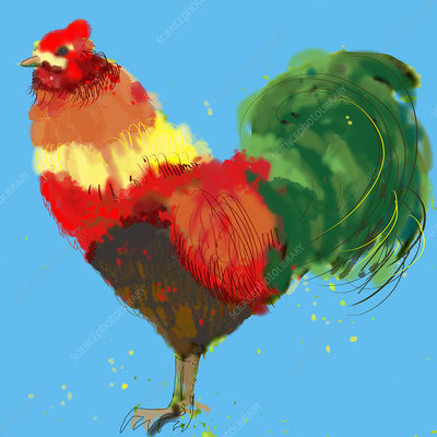 Rooster, illustration