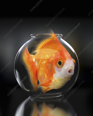 Large goldfish in trapped in small fishbowl, illustration