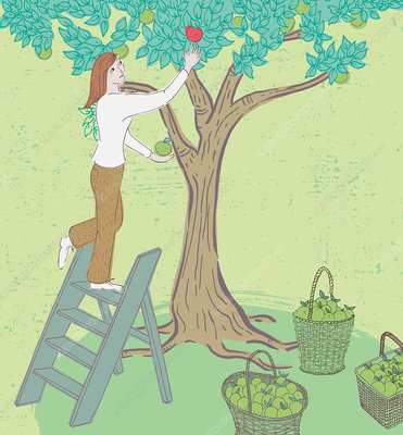 Woman picking apples, illustration