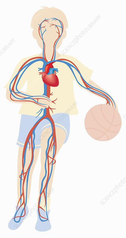 Cardiovascular system of boy playing ball, illustration