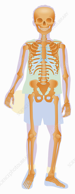 Skeleton of boy holding ball, illustration