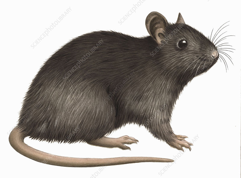 Black rat, illustration