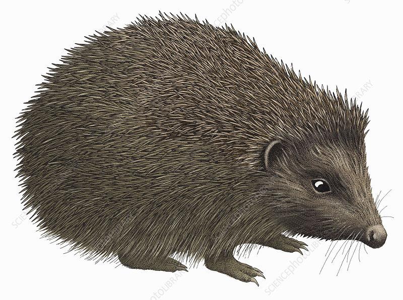 Hedgehog, illustration