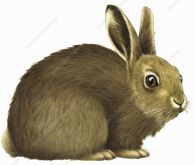 Rabbit, illustration