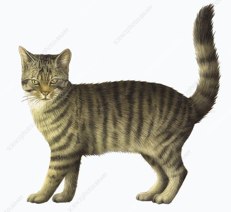 Striped domestic cat, illustration