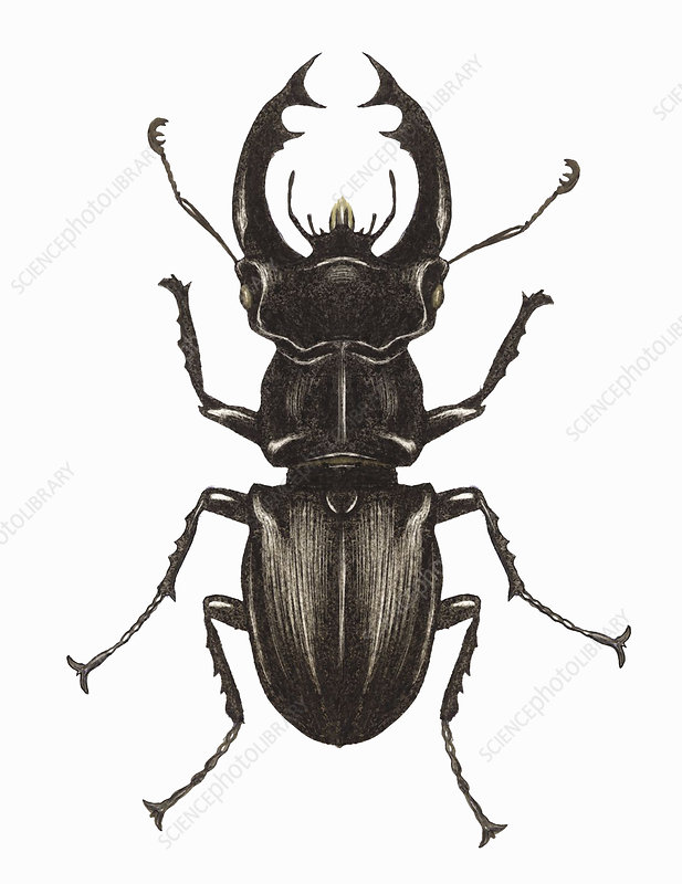 Stag beetle, illustration