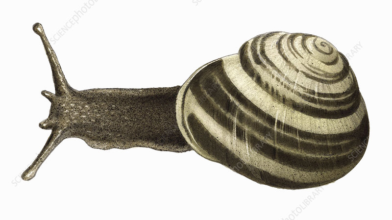 White-lipped snail, illustration