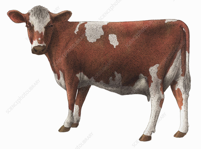 Guernsey cow, illustration