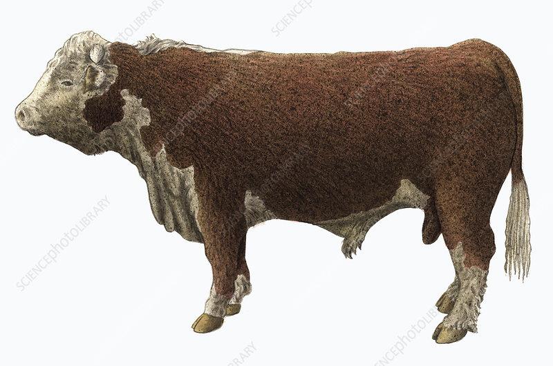 Hereford bull, illustration