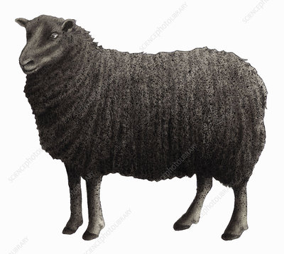 Black Welsh Mountain sheep, illustration