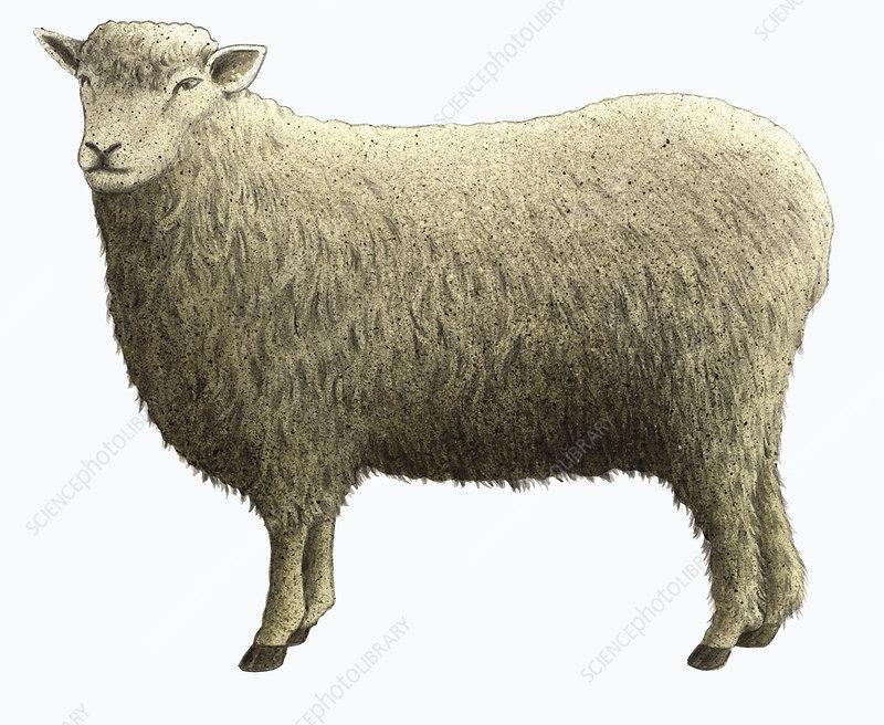 Cotswold sheep, illustration