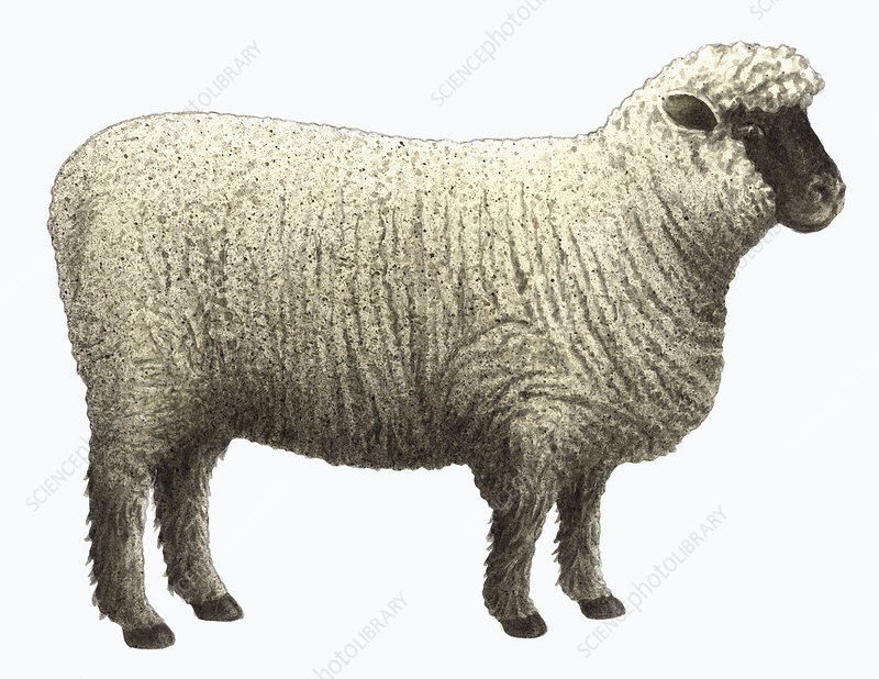 Oxford Down sheep, illustration