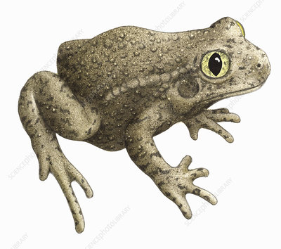 Common midwife toad, illustration