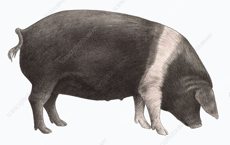 British saddleback pig, illustration