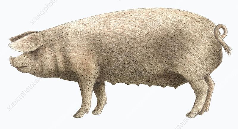 Welsh pig, illustration