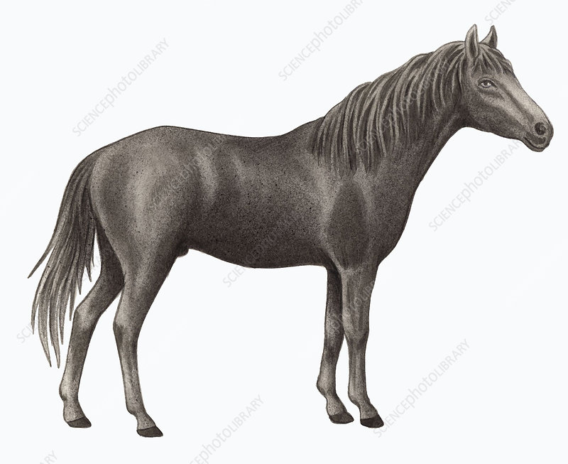 Caspian horse, illustration
