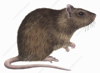 Brown rat, illustration