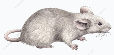 White mouse, illustration