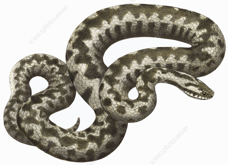 Adder snake, illustration