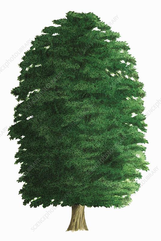 Common beech, illustration