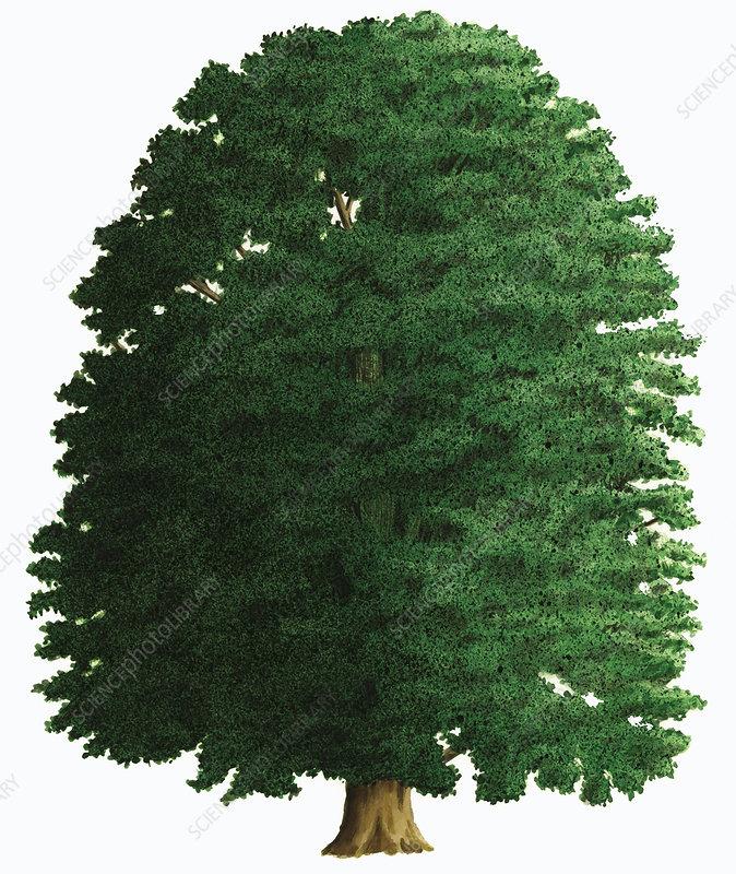 Horse chestnut, illustration