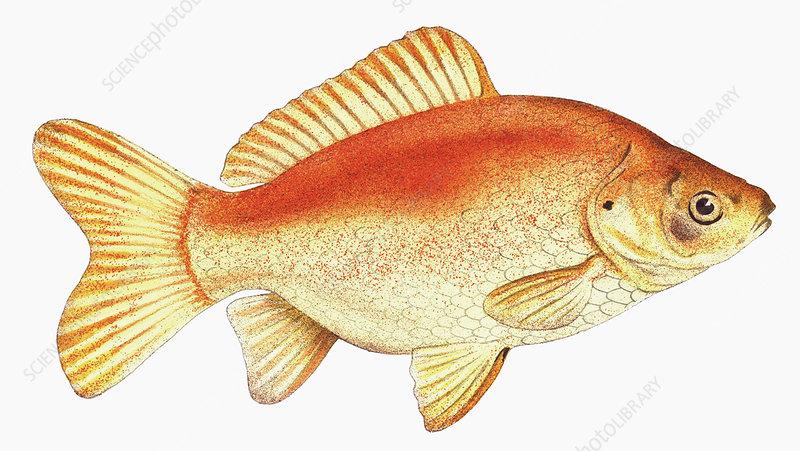 Common goldfish, illustration