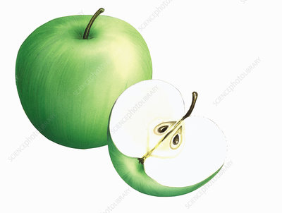 Green Crispin apples, illustration