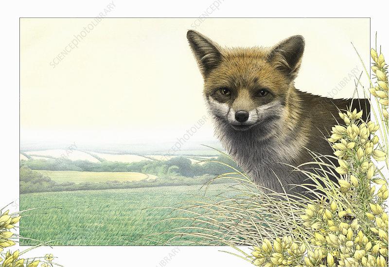 Fox, illustration