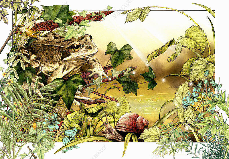 Common frog and snail, illustration