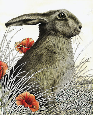 Hare, illustration